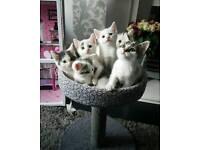 White kittens for sale - 2 boys left
