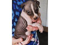 Rare american hairless terrier pups