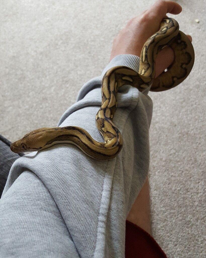 Suntiger reticulated python