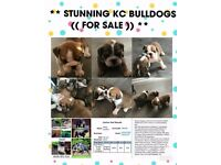 ** STUNNING KC BULLDOGS (( FOR SALE )) **
