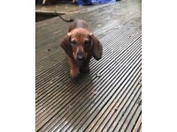 DACHUSHUND SMOOTH HAIR FEMALEs FOR SALE