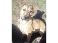 2 Female Mastiff cross grayhound for sale