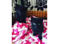 2 male kittens black