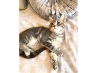 Beautiful Bengal X Blue/grey kitten 🐱