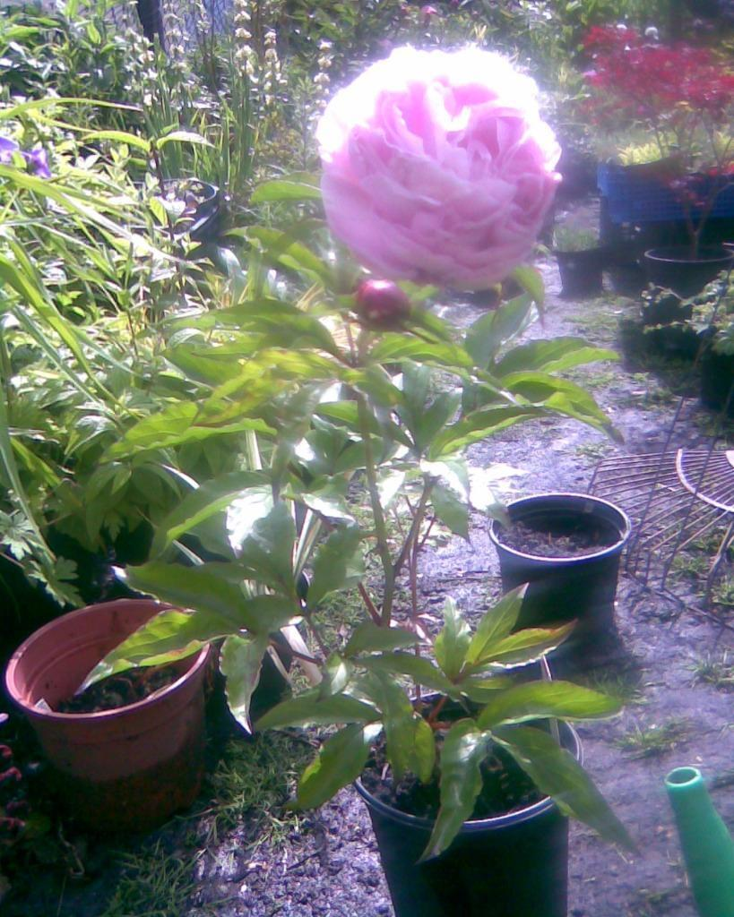 B q pink double peony garden plant in leyton london for Garden trees b q