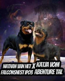 Quality Kc registered Rottweiler Puppies