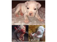 Pure White Pup born from litter of BLUE Staff pups (Pure breed Staffordshire Bull Terrier)
