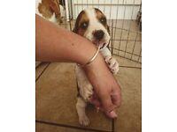 Bagle hound puppies (Beagle X Basset)