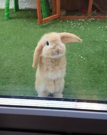 Mini Lop Rabbit Needs Rehoming