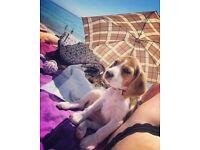 Beautiful beagle lady for sale