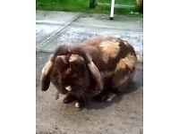 Free - Mini Lop Ear Rabbit