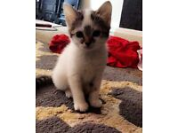 Adorable white kitten ready to find new home!