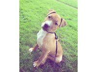 Staff cross American bulldog puppy