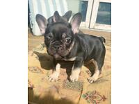 READY TO LEAVD FAMILY RAISED KC FRENCHIES