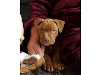 beautiful staffordshire bull terrier cross french mastiff female puppy