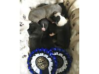 American Bully Puppies For Sale!