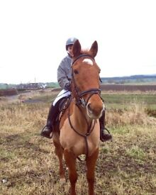 14.3/15.hh Horse for part loan outskirts of dundee