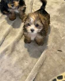 Miniature Yorkshire terrier puppies.
