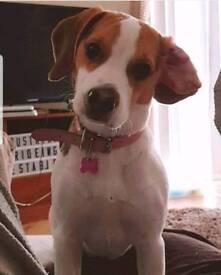 8 month beagle bitch
