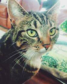 Missing Tabby Cat Giffnock