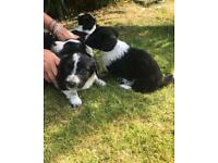 Corgi X Bearded Collie cross Sprocker Spaniel puppies