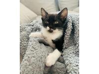 10 week old female kitten