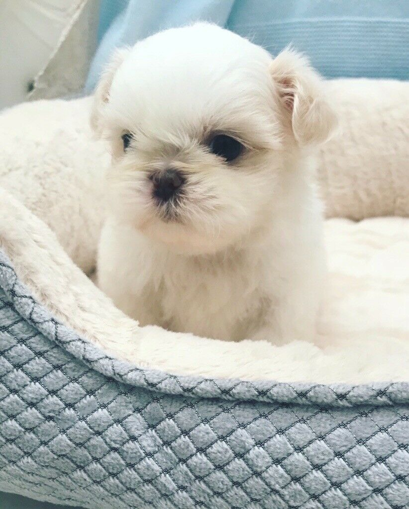 Shih Tzu puppies for sale rare cream colours | in Whiston, Merseyside |  Gumtree