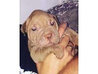 Amazing Chunky Bullpei Puppies