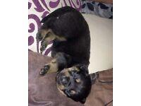 Rottweiler - German shepherd Puppy