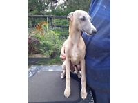 Beautiful kc registered whippet puppy.