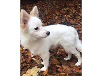 Japanese Spitz Pomeranian Puppy Dog