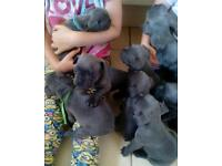 4 amazing blue KC REGISTERED french bulldogs