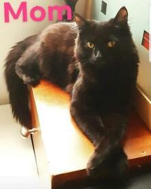 Rare Pure Turkish Angora Kittens, Extremely Beautiful Grown Cats!