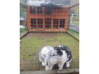 2 beautiful rabbits topsy and tim, hutch and brand new thermal waterproof cover