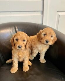 Beautiful cockapoo puppies ready now