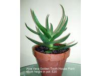 Aloe Vera Golden Tooth Plant in Terracotta Pot