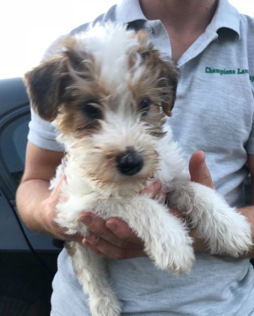 Kc reg wire haired Fox terrier puppies for sale | in Ashford, Kent ...