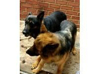 German Shepherd puppy's for sale