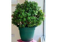 13 Years Old Large Money Plant(Crassula Ovata) For Sale