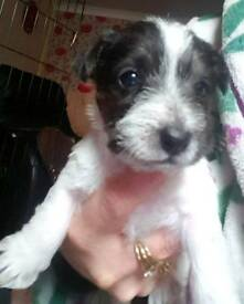 Jack Russell cross puppies
