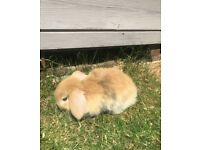 6 Baby, Male and Female, Pure Breed, Mini Lops