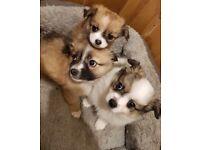 Beautiful Pomeranian x chihuahua puppies