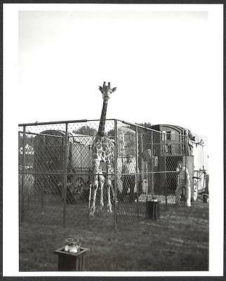RINGLING BROS BARNUM & BAILEY CIRCUS GIRAFFE PHOTO (78)
