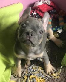 French bulldog puppies lilac &tan &blue fawn