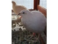 White Japanese, Coturnix quails for sale - £5 each bird
