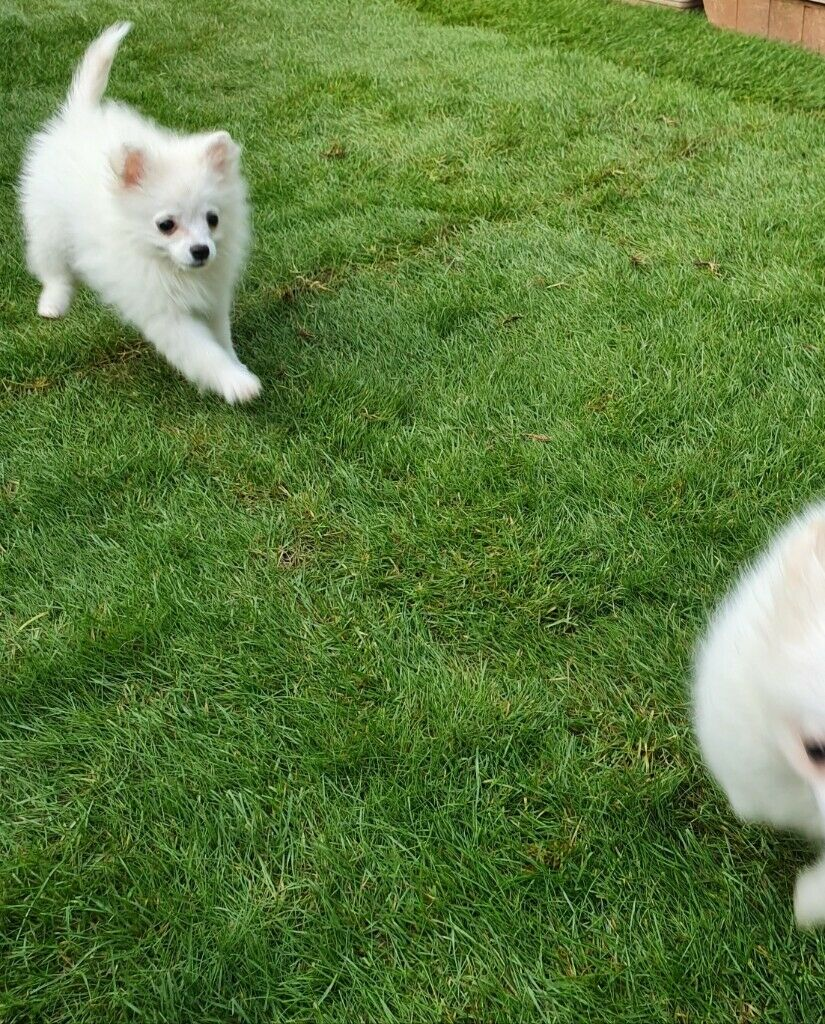 Cute Pomeranian Puppies In Peterborough Cambridgeshire Gumtree