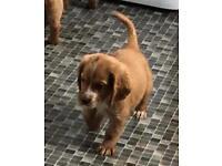 Quick last pup left - Male cocker spaniel pup