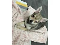 Chihuahua female puppy