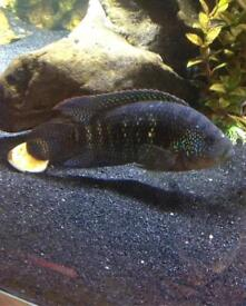 Male Jack Dempsey for sale