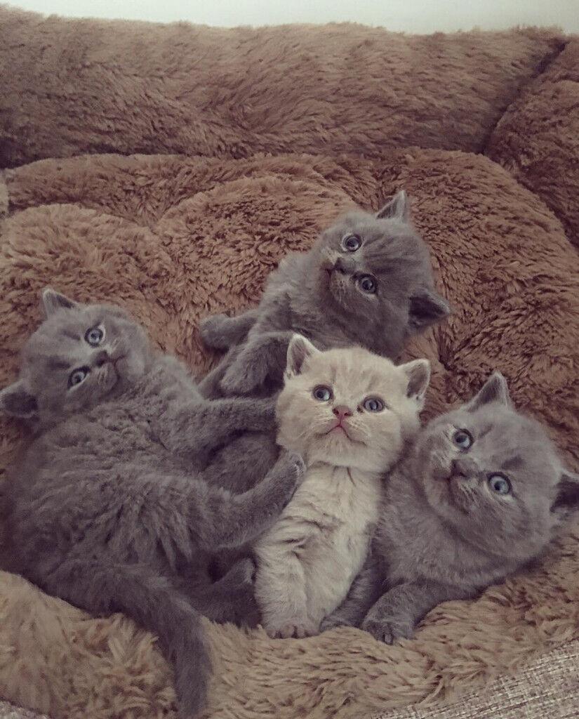 Beautiful Pure Breed British Shorthair Kittens In Edinburgh Gumtree